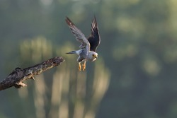 Dickinson's kestrel (Falco dickinsoni) on take off from its perch