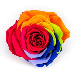 died and preserved rainbow rose isolated on white