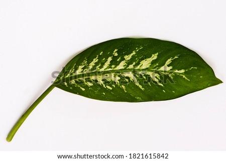 Dieffenbachia Camilla. green and white leaves. Foto stock ©