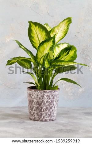 Dieffenbachia camilla. Plant in the pot. Isolated. Foto stock ©