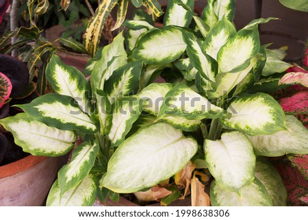 Dieffenbachia (Dumb Cane) Camille, Exotica Alba, Honey Dew. leaves is large, oval  that are attractively marked with dark green at the edges, fading to white in center. It's ornamental houseplant. Foto stock ©
