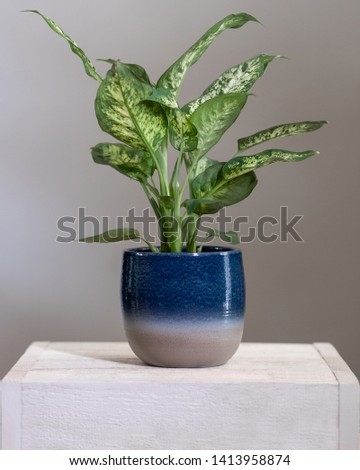 Dieffenbachia Dumb canes plant in colorful pot
