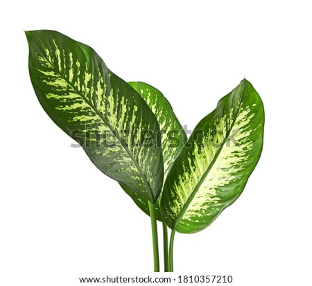 Photo of  Dieffenbachia leaf (Dumb cane), Green leaves containing white spots and flecks, Tropical foliage isolated on white background, with clipping path