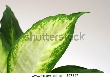 Dieffenbachia plant detail with water drops