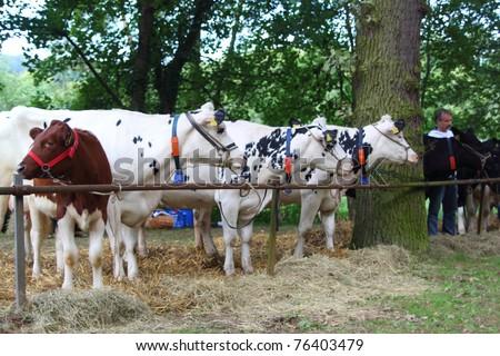 DIEMELSTADT-RHODEN, GERMANY - SEPTEMBER 12: Cattle wait to be presented in the 2011 cattle-show of Rhoder Viehmarkt on September 12, 2010 in Diemelstadt-Rhoden, Germany.