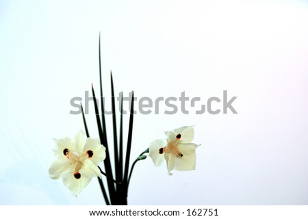 Dieties Bicolor Flowers Stock Photo 162751 : Shutterstock