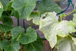 Difference in the susceptibility against cucumber powdery mildew (Sphaerotheca cucurbitae) between resistant cultivar (left) and susceptible one (right)