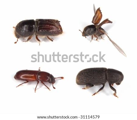 Different bark borers isolated on white. Major pests on woods.