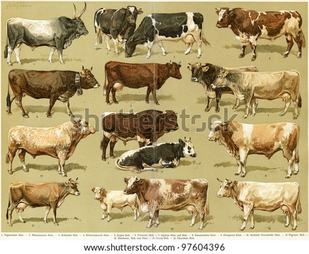 Different breeds of cows. Publication of the book