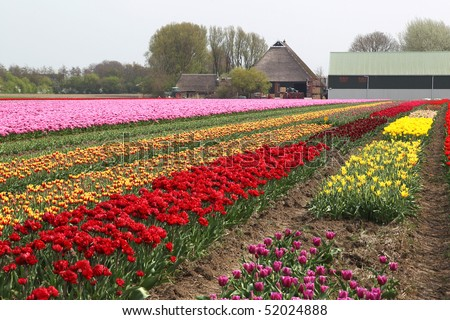 different colorful rows of tulips on a tulip field in Friesland(Holland) with a farmhouse on the background