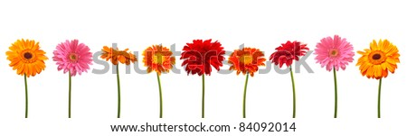Different colors daisy collection