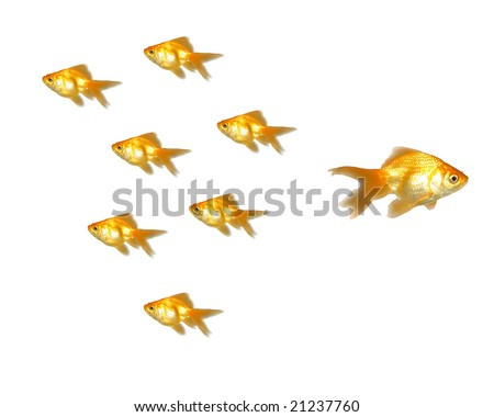 Different Directions - Many beautiful goldfishes isolated on white background (can be used individually)