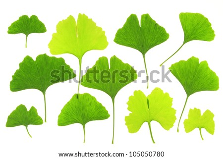 Different Ginkgo leaves, before a white background