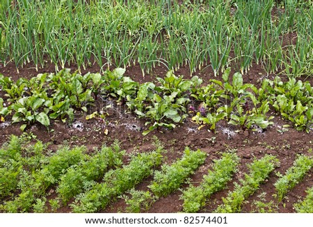 Different green vegetable seedlings growing in rows