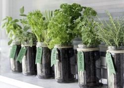 different herbs (basil, sage, chives, parsley, oregano and thyme) growing in mason jars on a window