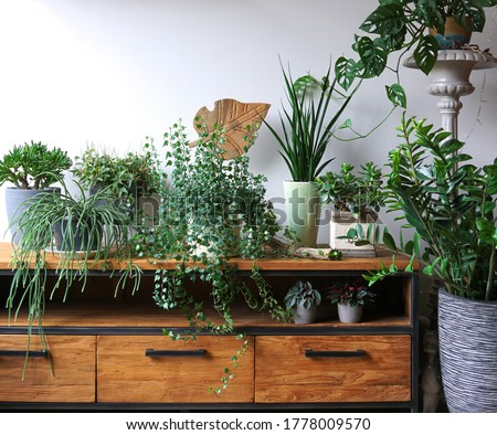 Different indoor plants in living room with decorations on the table Stylish composition of home garden green industrial interior. Urban jungle interior with houseplants. green concept for magazine. Stock photo ©