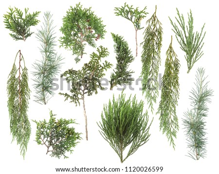 different kinds of fresh green isolated conifer leaves, fir branches on white, can be used as template for decoration, background #1120026599