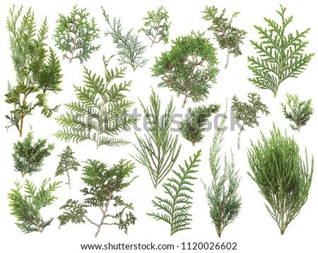 different kinds of fresh green isolated conifer leaves, fir branches on white, can be used as template for decoration, background #1120026602