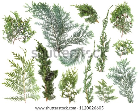 different kinds of fresh green isolated conifer leaves, fir branches on white, can be used as template for decoration, background #1120026605