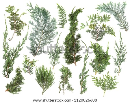 different kinds of fresh green isolated conifer leaves, fir branches on white, can be used as template for decoration, background #1120026608