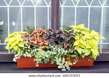 Different plants Coleus grow in flowerpot on windowsill