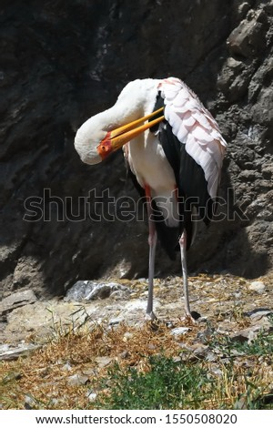 Different point of view of the Yellow-billed stork (Mycteria ibis) #1550508020