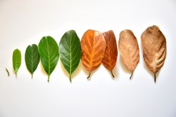Different stages of life - Birth to death. Concept of aging, growth, death. Age and disease. Leaves of different age of jack fruit tree (Artocarpus heterophyllus) on white background. Top down view.