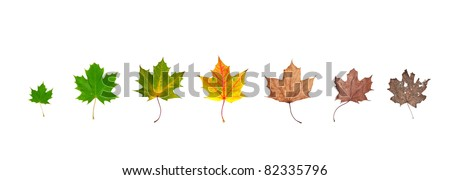 Different stages of life of a leaf symbolising the human life. Placed in line, isolated on white