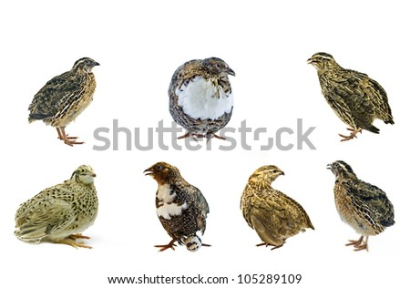 Different strains of domesticated quails