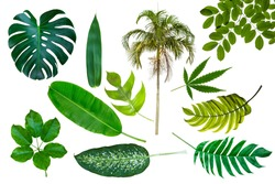 Different tropical leaves isolate on white background with clipping path included. Tropic green banana leaf, palm, jungle plant, monstera vegetation foliage for design elements summer backgrounds.