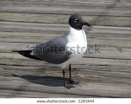 different type gull