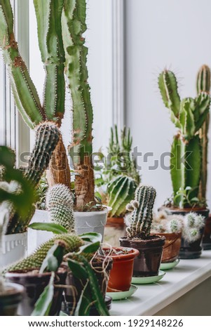 Different types of cacti on the windowsill in the home interior.Houseplants and urban jungle concept. Stock photo ©