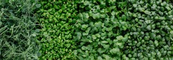 Different types of microgreens close-up top view. Seed sprouts are green. Eco vegan healthy lifestyle bio banner. Green natural background texture. Vitamins Amino Acids Benefits Of Organic Superfood.