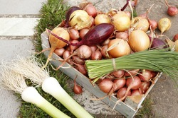 Different varieties of onions in a wooden box in the garden. Shallots, chives, leeks, red and yellow onions.