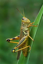 Differential grasshopper (Melanoplus differentialis) on blade of grass in meadow in central Virginia, USA.