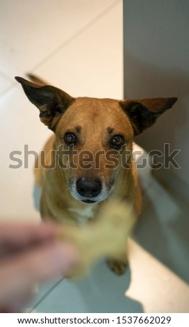Dig vira lata caramelo staring a snack, looking concentrated, with opened ears Foto stock ©
