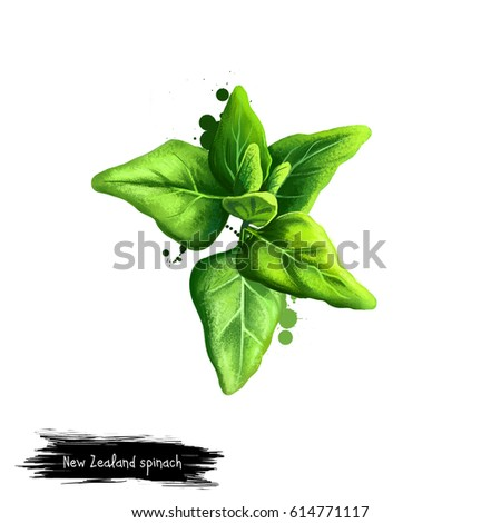 Digital art New Zealand spinach, Tetragonia tetragonioides isolated on white background. Organic healthy food. Green vegetable. Hand drawn plant closeup. Clip art illustration. Graphic design element