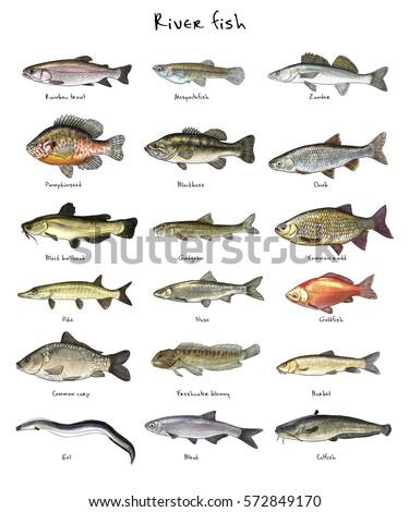 Digital illustration of river fish