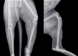 Digital x-ray of a cat with ventro-dorsal view (left) and side view (lateral or right) of a fibula or calf bone fracture. Isolated on black. Isolated on black