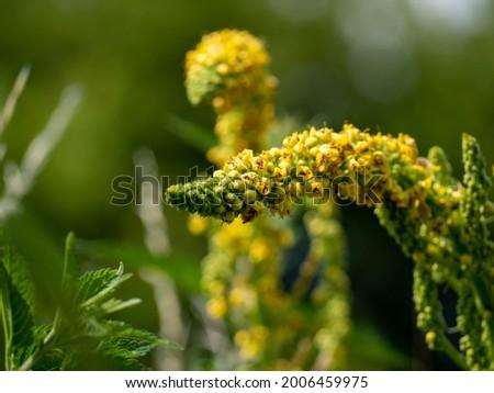 Digitalis foxglove, rusty foxglove, is a species of flowering plant Digitalis. Stock fotó ©