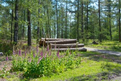 Digitalis or foxglove in the forest with in the background chopped down treetrunks gathered and ready for transport