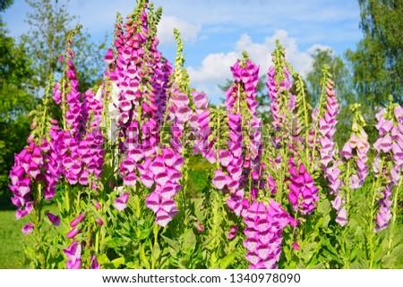 digitalis purpurea - colorful foxglove flowers ( common foxglove, purple foxglove or lady's glove)