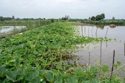 Dike cropping is practiced beside aquaculture in Bangladesh
