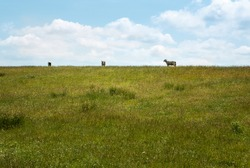 Dike landscapes with meadows and sheep on the North Sea coast in front of the Wadden Sea, near Dagebüll. travel destination germany. sheep on the top of a dike. Dike crown and sky on the horizon