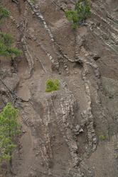 Dikes and Canary Island pines Pinus canariensis. Hoyo de Los Pinos ravine. Caldera de Taburiente National Park. La Palma. Canary Islands. Spain.