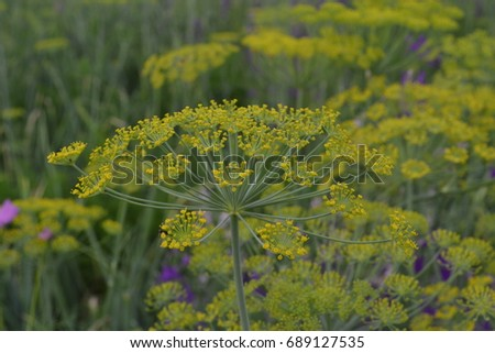 Dill. Anethum graveolens.  Short-lived annuals. Medicinal plant. dill flowers. On blurred background. Garden. Growing herbs. Horizontal #689127535