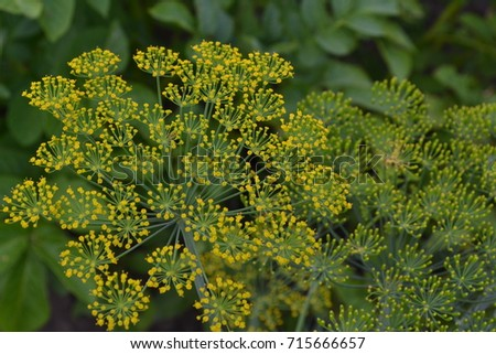 Dill. Anethum graveolens.  Short-lived annuals. Medicinal plant. dill flowers. On blurred background. Garden. Field. Growing herbs. Horizontal photo #715666657