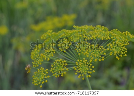 Dill. Anethum graveolens.  Short-lived annuals. Medicinal plant. dill flowers. On blurred background. Field. Growing herbs. Horizontal #718117057