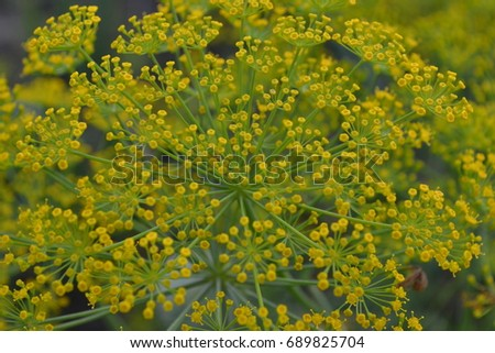 Dill. Anethum graveolens. Short-lived annuals. Medicinal plant. dill flowers. On blurred background. Garden. Field. Close-up. Horizontal photo #689825704