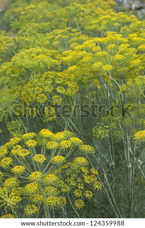 Dill flowers close-up, local focus